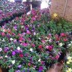 Baka Flowers