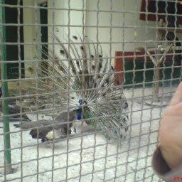 طاووس ذكر يتمختر أمام الإناث ..