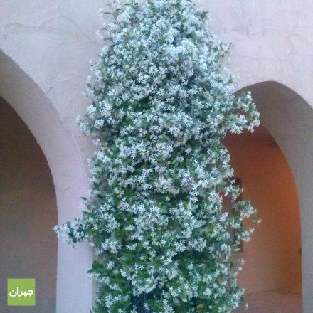 Jasmin Tree