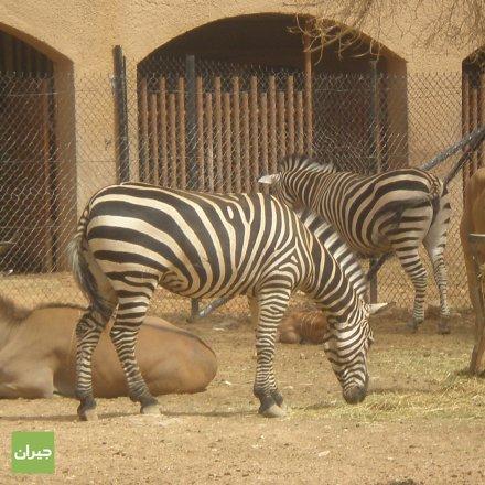 حمار الوحش حديقة حيوانات الرياض حي الملز البوم الصور جيران الرياض