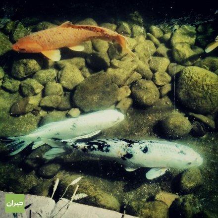 One more photo of the fish بناء على طلب الجمهور